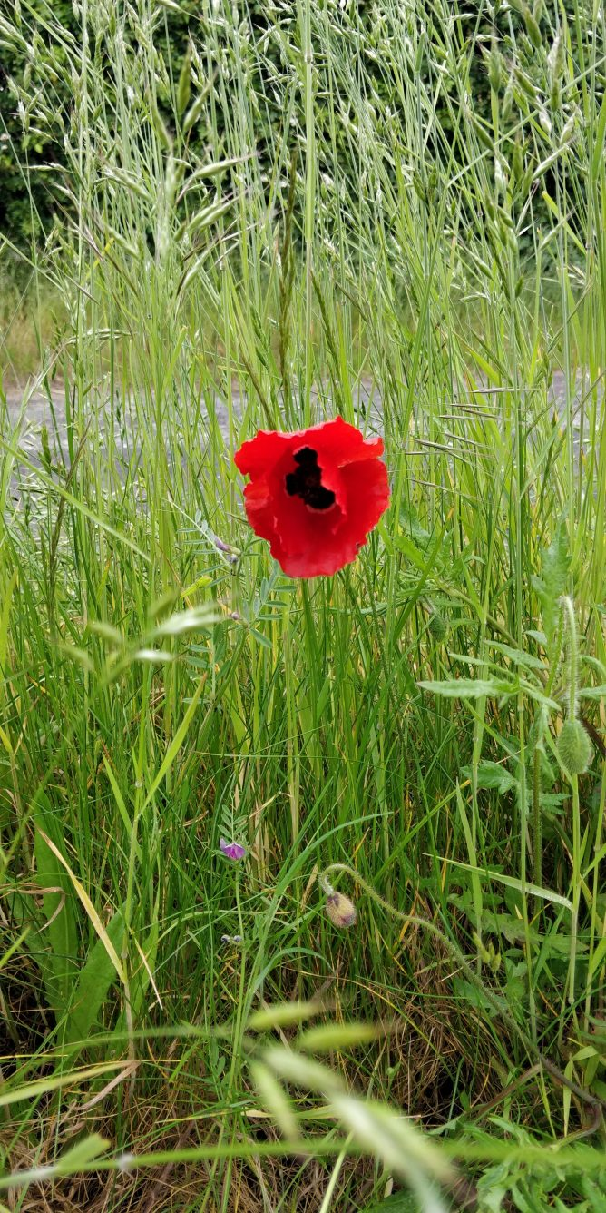 Red poppy in front of grass